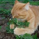 cat-sniffing-catnip