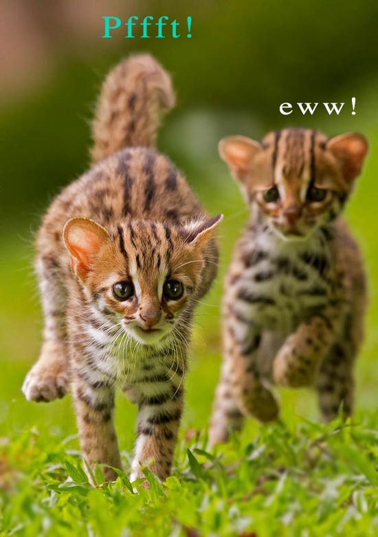 kitten-fart-face
