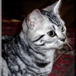 American Short Hair Cat Breeds