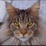 Adult Maine Coon Cat Breeds