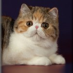 Exotic cat breeds - kitten