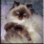 Himalayan cat breeds