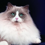 adult Ragdoll cat breeds