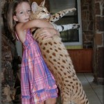 Savannah cats are the largest cat breeds