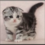 Scottish Fold cat breeds