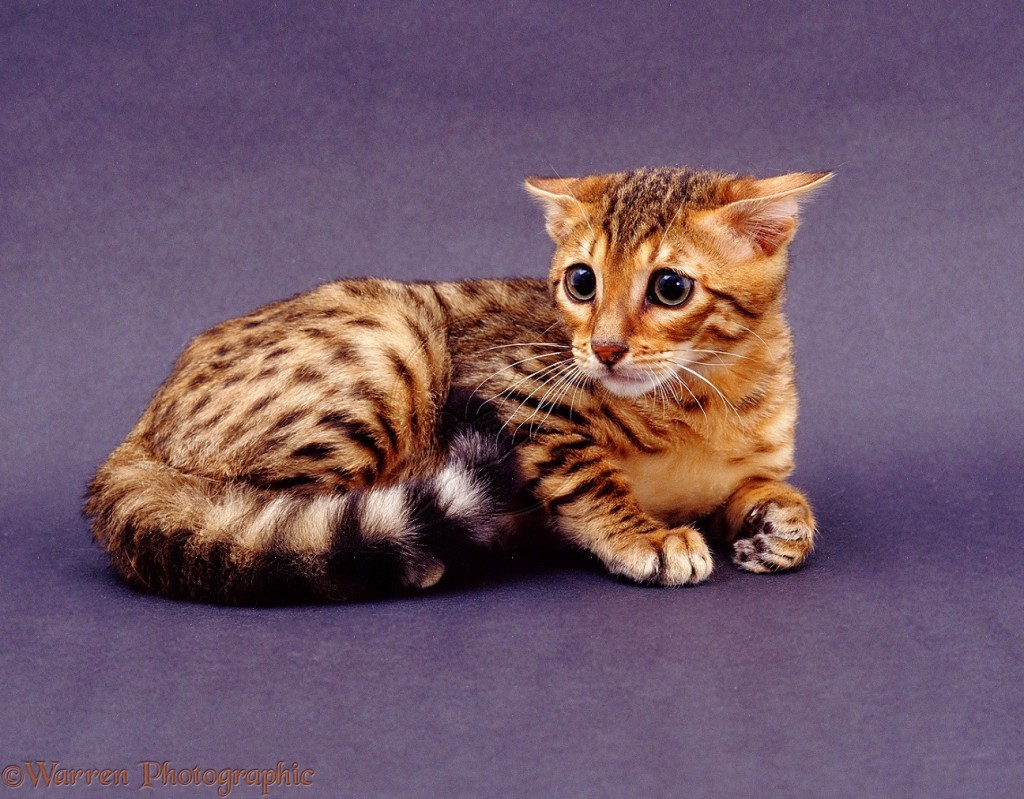 Bengal cat video