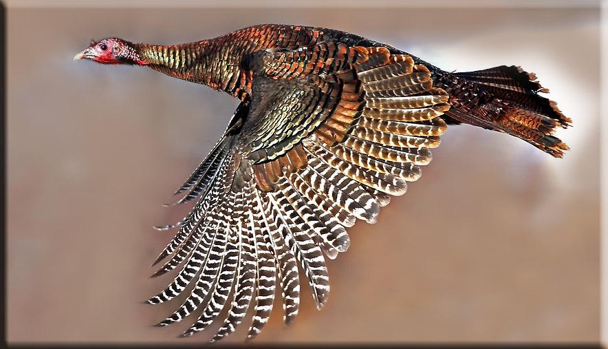 turkey feather wand toy