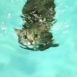 A TABBY CATS SWIMMING 1
