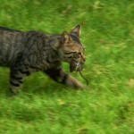 MOTHER CAT HUNTING