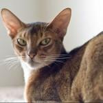 Abyssinian cats swimming